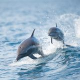 Tierische Retter: Seenotfall im Meer - Delfine eilen Rettungsmannschaft zur Hilfe