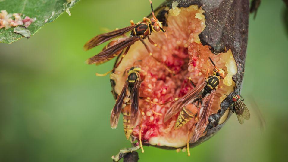 In jeder Feige steckt eine tote Wespe!