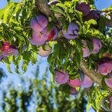 saisonales Obst, saisonales Gemüse, Saisonkalender