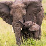 Einfach magisch: Ausgewilderter Elefant kehrt nach 20 Jahren zurück, um ihrem Retter ihr Baby vorzustellen
