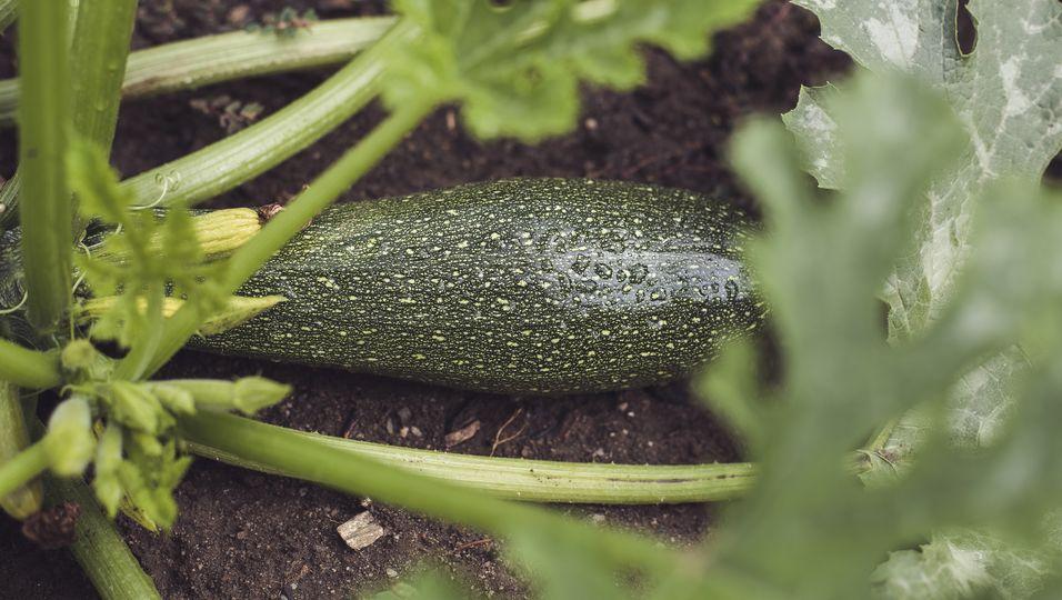 Mann von Zucchini vergiftet - Das Verbraucherschutzministerium warnt!