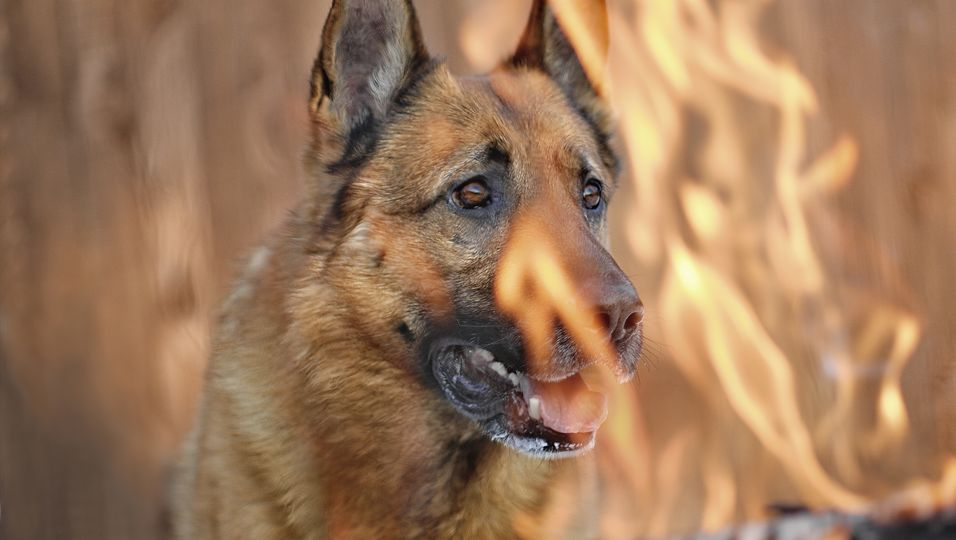 Der Feuerwehrmann Patrick Cullen rettete einem Schäferhund das Leben.