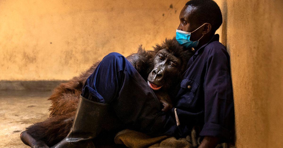 Herzzerreißend: Gorilla-Dame Ndakasi stirbt in den Armen ihres einstigen Retters