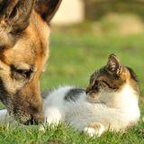 Schäferhund und Streunerkatze