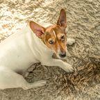 Hund neben Urinfleck auf dem Teppich