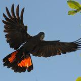 Schwarzer Kakadu