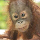 Liebe überwindet alle Grenzen: Neugieriges Orang-Utan-Baby beobachtet Schwangere - und küsst dann ihren Babybauch