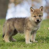 Spaziergänger hielten verletzten Wolfswelpen für einen Hund und nahmen ihn mit