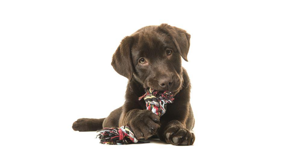 Labradorwelpe Scheidung (Symbolbild)