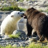 Niedliche Spielgefährten - Eisbärjunges ohne Eltern lernt verwaisten Grizzlybären kennen – jetzt sind sie beste Freunde