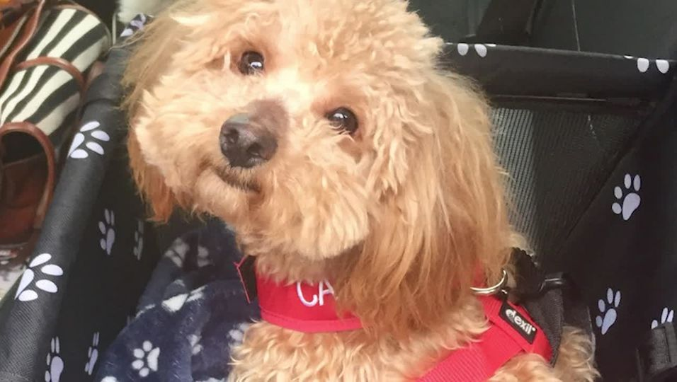 Frau schenkt Hund mit gebrochenem Rückgrat neues Leben – mit Mini-Rollstuhl
