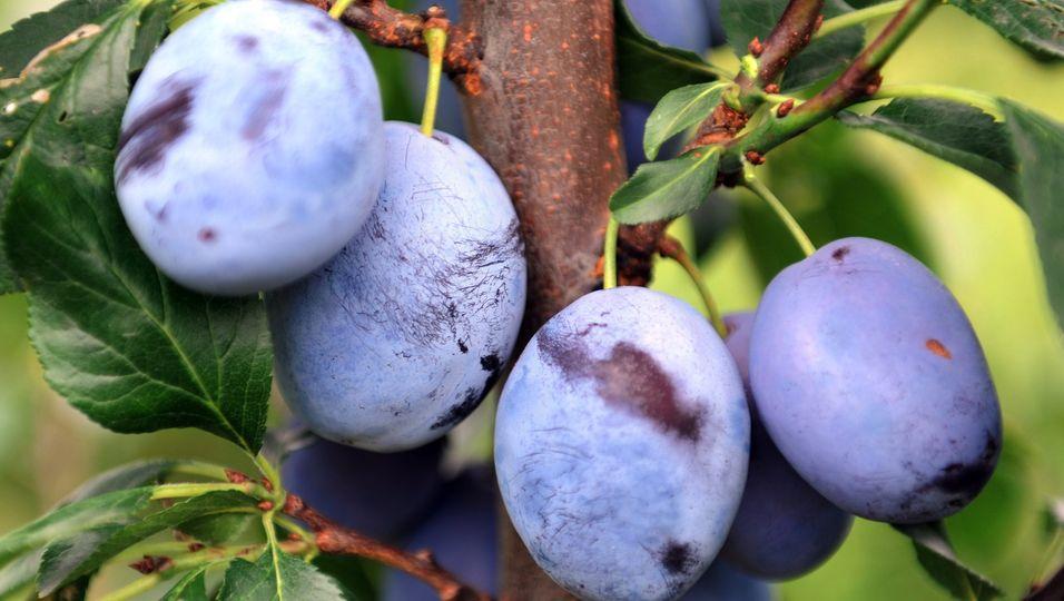 Zwetschgen sind deutlich ovaler als Pflaumen. Aus den süßen Früchten lässt sich auch Essig kochen.