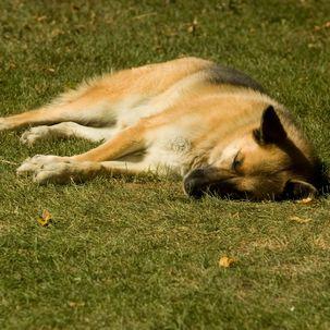 Parkhüter trägt Schäferhund mehrere Kilometer auf seinen Schultern in Sicherheit