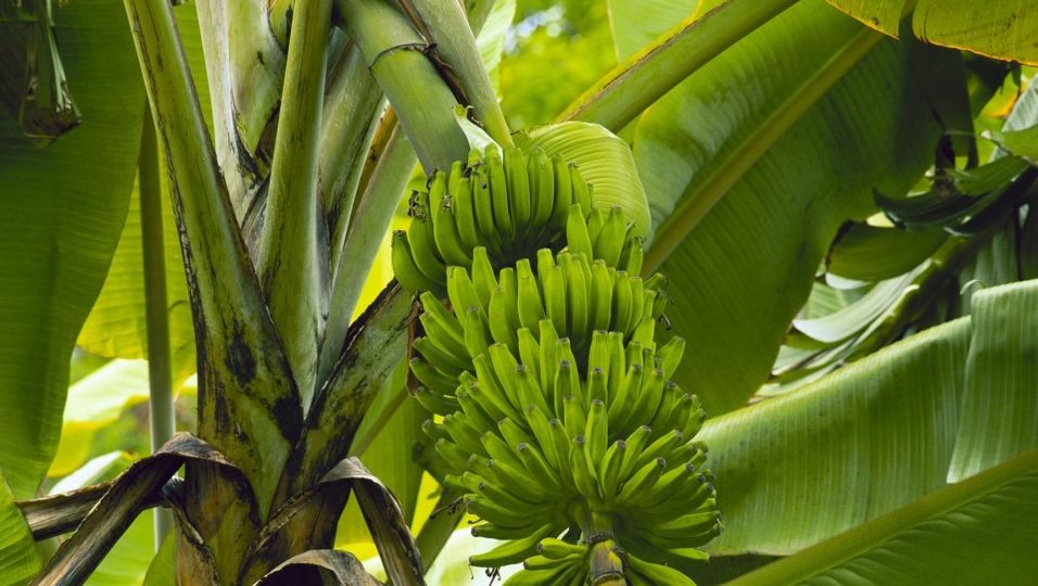 tropische-pflanze-zuhause-richtig-pflegen210607960x644.jpg
