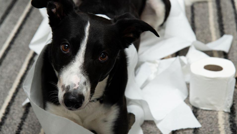 Polizeihund lernt, verstecktes Toilettenpapier zu erschnüffeln