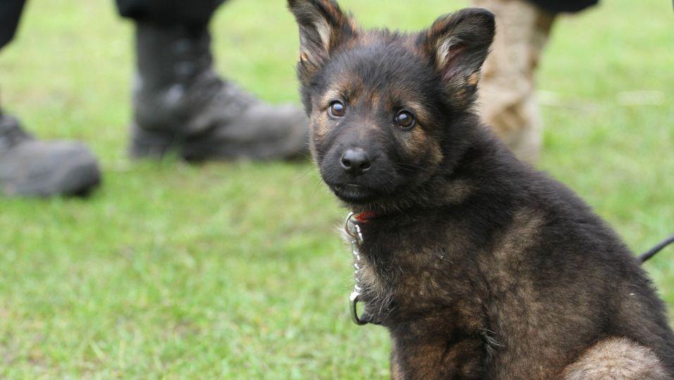 Ausgemusterte Polizeihunde können adoptiert werden.