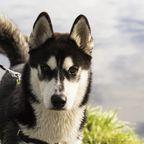 Alaskan-Malamute Odin wäre fast ums Leben gekommen - doch er durchlebte eine unglaubliche Wandlung. (Symbolbild)
