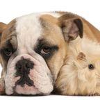 Ungewöhnliche Freundschaft: Bulldogge trauert um geliebtes Meerschweinchen.jpg