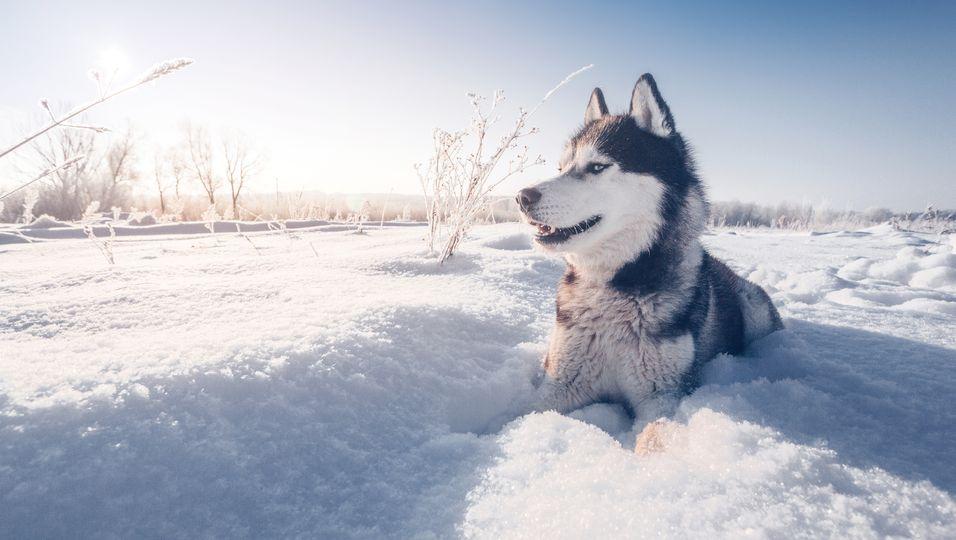 Todkranke Schlittenhündin darf noch ein letzten Mal in den Schnee