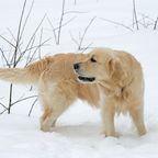 Hund hatte sich Bett aus Schnee gebaut. Er konnte gerade noch vor dem Kältetod gerettet werden.